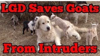 Livestock Guard Dog Saves Goats From Intruders