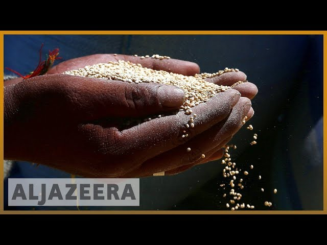 Bolivia's superfood crop seen as means for food security