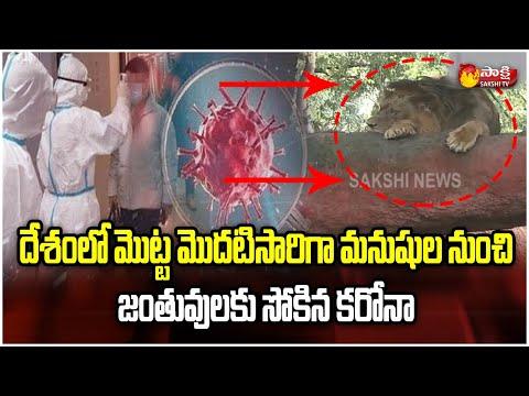 فيروس كورونا في الهند يصل إلى الحيوانات.. إعلان إصابة 8 أسود آسيوية في حديقة جنوبي البلاد