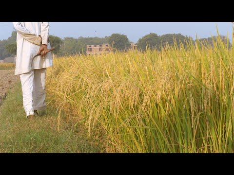 Indian farmer walking in the paddy field while holding a sickl... | Indian Stock Footage | Knot9