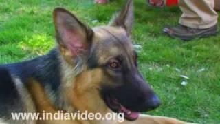 German Shepherd Dog (GSD)