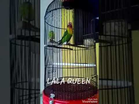 mp4 Lovebird Lala Queen, download Lovebird Lala Queen video klip Lovebird Lala Queen