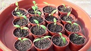 Сеем семена перца проверенными методами видео