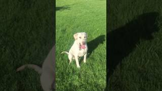 Portentoso's Ronto, yard work retrieving, April 17th 2017 - Part 2