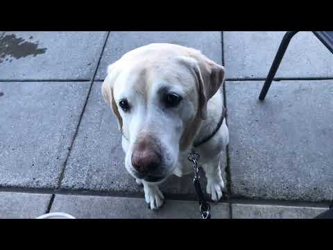 Guide Dog helping blind woman find the counter, door and place to sit at Starbucks. Dogs are amazing