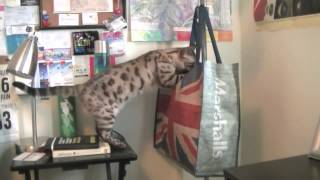 so you want a bengal cat