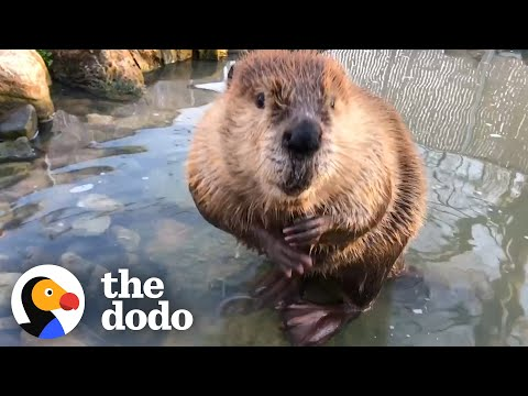 This Beaver Gets His Own Pond!