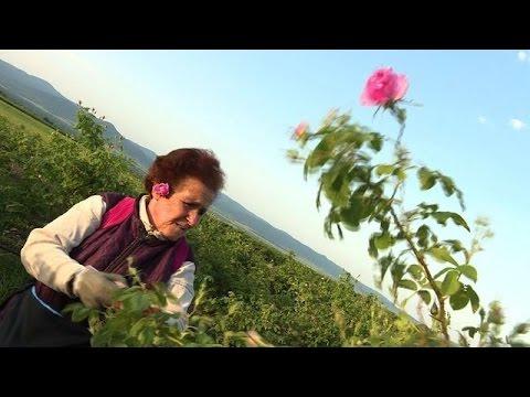 Rosige Aussichten für Bulgariens Rosenölindustrie