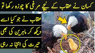 Farmer Swapped The Egg of Eagle With That of Hen
