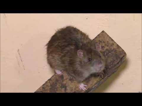 Серая крыса и интересные факты о ней
