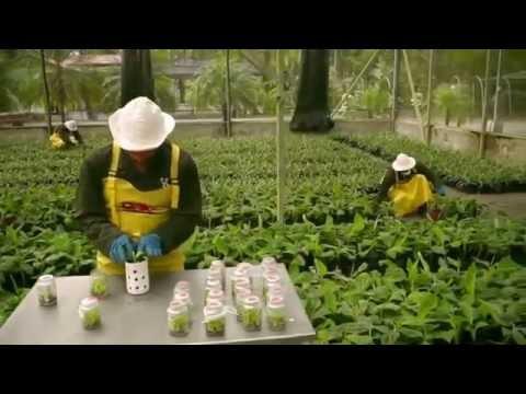 Ini Cara Berkebun Pisang secara Modern