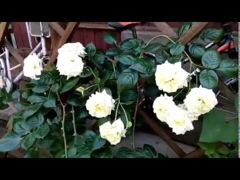 Роза плетистая Эльф, Тантау.