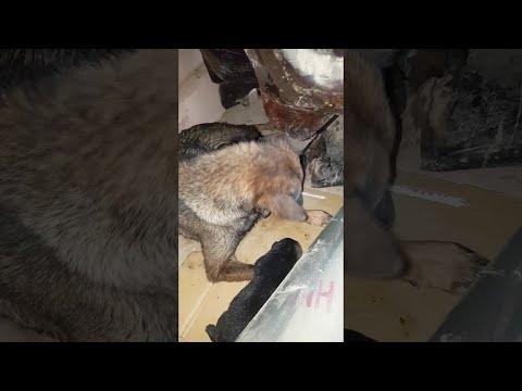 Собака спасла своих щенков от смерти