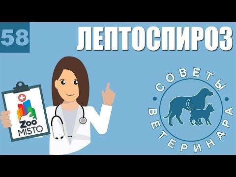 Лептоспироз у домашних животных | Симптомы и лечение лептоспироза | Советы Ветеринара