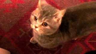Реакция кошки на голос кота.