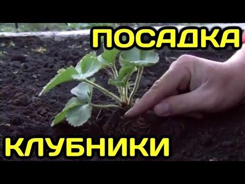 Как правильно посадить клубнику (землянику)