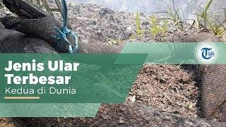 Ular Piton Raksasa, Keluarga Ular Piton yang Juga Disebut Ular Piton Raja dan Anaconda Indonesia