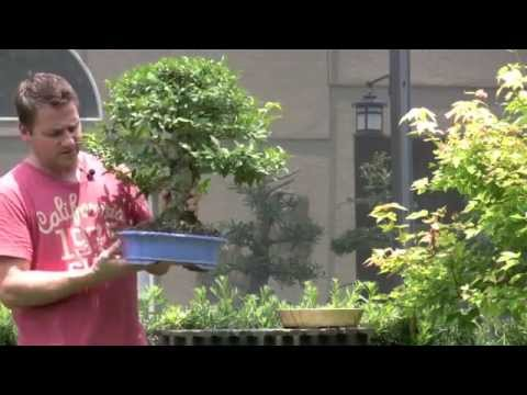 El cultivo del bonsai arte bonsai tropical - Cultivo del bonsai ...
