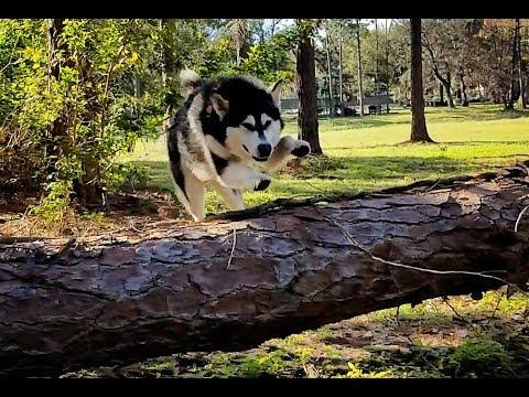 Tonka The Jumping Malamute ❤️💟!