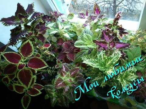 Колеусы мои любимые комнатные растения!