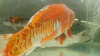 Kumpulan Contoh Gambar Sketsa Ikan Koi