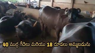 pure murrah buffalo for sale in hyderabad - Thủ thuật máy