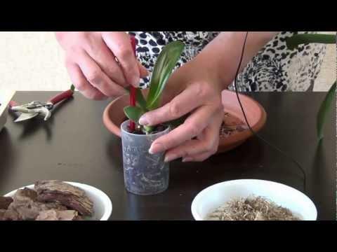 juodas orchidėjų riebalų degintojas)