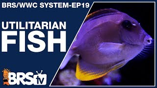 Reef tank fish with a purpose! - The BRS/WWC System Ep19 - BRStv