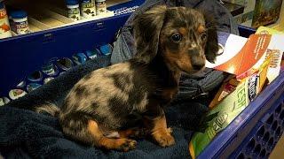 Turbo Tobys First Trip To PetSmart (Miniature Dachshund)