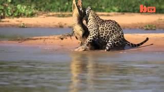 مشاهد مذهلة لنمر ينقض على تمساح ويفترسه بطريقة ذكية