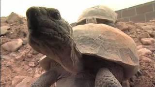 The Heat is On: Desert Tortoises & Survival (Part 1 of 4)
