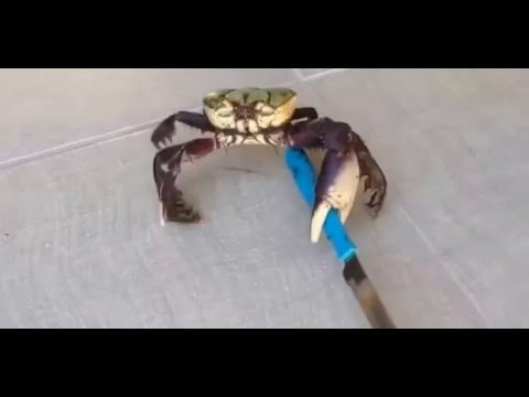Killer Crab | Crab with Knife | Funny Videos 2016