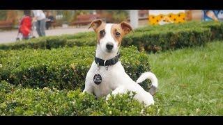 Джек Рассел Терьер ➠ Узнайте все о породе собаки