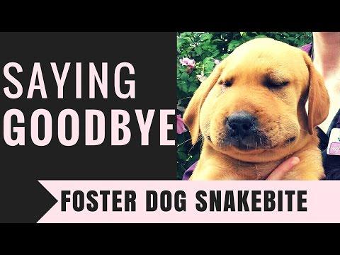 Saying Goodbye  |  Foster Dog Snakebite