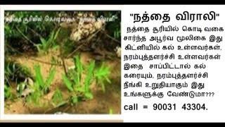 NATHTHAI SOORI  - நத்தை விராலி ( நத்தை சூரியில் கொடிவகை )-2016 - call -90031 43304..