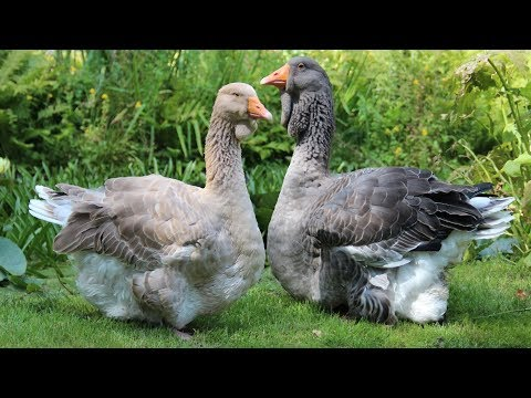 , title : 'Toulouse Geese | Large Grey Impressive