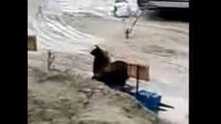 Медведи на КРС. север.