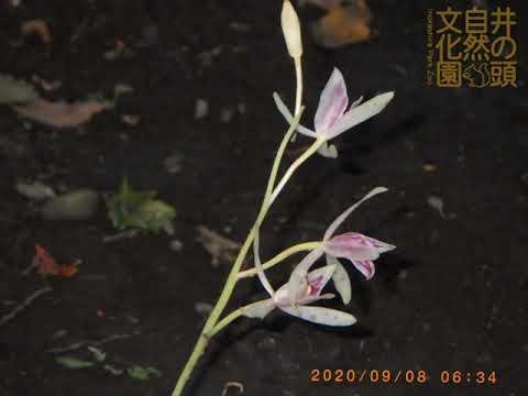 井の頭自然文化園 花ごよみ動画 マヤランの開花