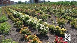Как правильно выбрать саженцы роз. Частный питомник роз Рязанова