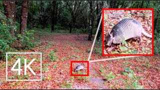 Armadillo Sighting! | 4K Virtual Hike Ultra HD | Wandering Off the Trail & Into the Forest