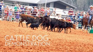 Cattle Dog Demonstration | Border Collie | Herding Dog