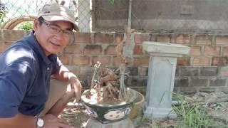 Cắt Và Trồng Cây Mai Bonsai