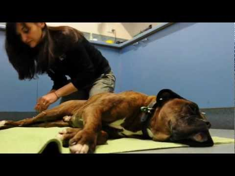 Dog Acupuncture