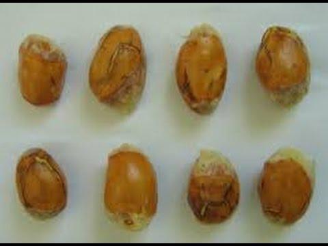 Video MENAKJUBKAN Inilah 10 Manfaat Biji Durian – Bagi Kesehatan