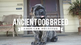 AMERICAN MOLOSSUS: A RECREATION OF AN ANCIENT DOG BREED