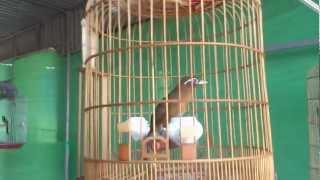 preview picture of video 'HỌA MI CHIẾN VÔ ĐỊCH HÀ TĨNH'