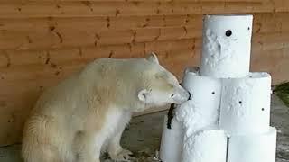 Медведица из Ленинградского зоопарка сделала снеговику кусь