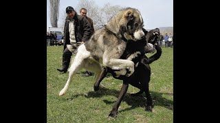 Собачьи Бой Какая собака круче Алабай Среднеазиатская овчарка  или Немецкий Дог ??? Бойцовая собака