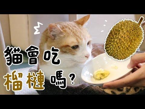 【黃阿瑪的後宮生活】貓會吃榴槤嗎?