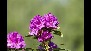 List of U.S. state flowers